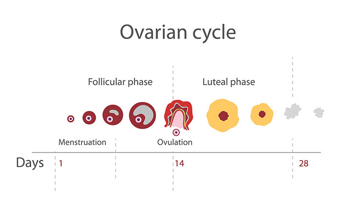 menstrual cycle calculator