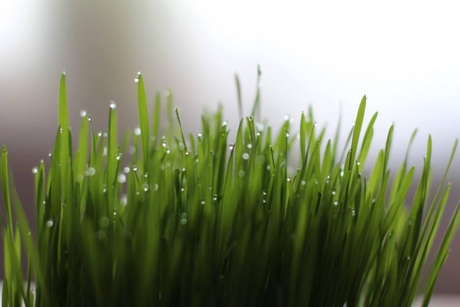 ways to enjoy wheatgrass